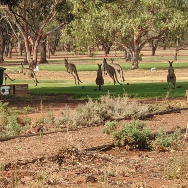 Kangaroos at Condobolin Sports Club
