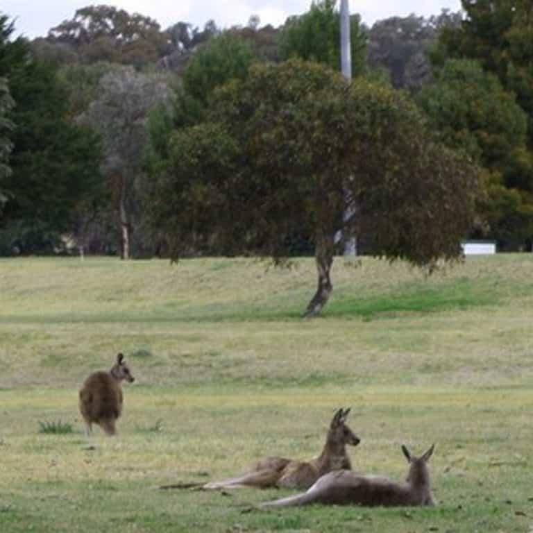 Kangaroos at Kapooka Golf Club