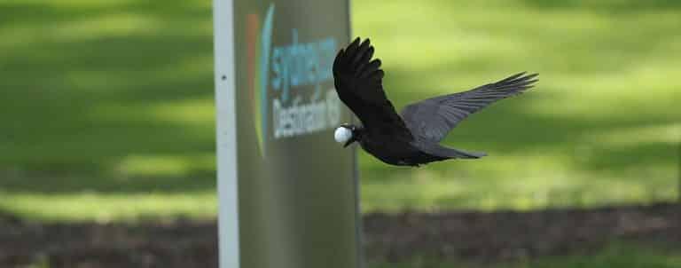 NSW Open Crow takes ball